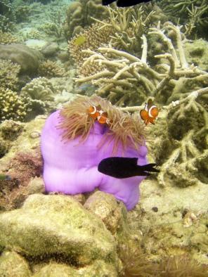 Snorkling - Tioman
